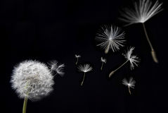 Dandelion with floating seeds Royalty Free Stock Photos