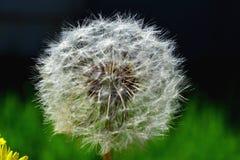Dandelion flourished. Fluffy white dandelion on background meadow Stock Image