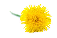 Dandelion flowe. R isolated on a white background stock images