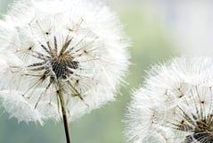 Free Dandelion Flower Royalty Free Stock Image - 14077686