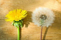 Dandelion flower Stock Photos