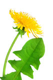 Dandelion flower Royalty Free Stock Image