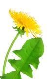 Dandelion flower. Isolated on white background royalty free stock image