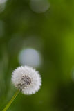 Dandelion flower. The common name dandelion from French dent-de-lion, meaning lion's tooth. The flower heads mature into spherical clocks containing many single Royalty Free Stock Photography