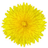 Dandelion flower. Isolated in white background royalty free stock photo