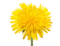 Dandelion flower. Isolated on a white background stock images