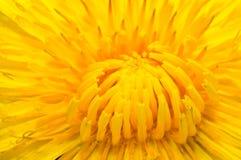 Dandelion flower Royalty Free Stock Images