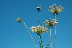 Dandelion flower. Over blue sky Stock Images