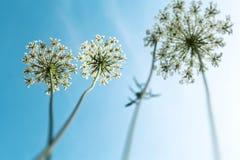 Dandelion flower. Over blue sky Stock Photo