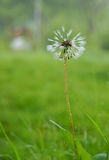 Dandelion flower. After the rain against the clearing Royalty Free Stock Image