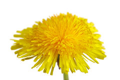 Dandelion flower. Close up of a dandelion flower isolated on white background royalty free stock photography
