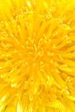 Dandelion flower Stock Photography