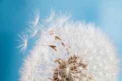 Dandelion flower agains blue sky. closeup. soft focus Stock Photo