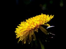 Dandelion flower against a black background royalty free stock photo