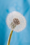 Dandelion flower against Blue background Royalty Free Stock Photography