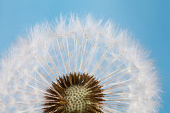 Dandelion flower against blue sky. close-up. macro shot Royalty Free Stock Images