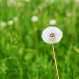 Dandelion flower against the green background Royalty Free Stock Image