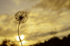 Dandelion flower against the sunset in evening Stock Image