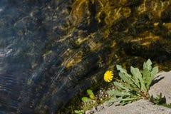 Dandelion flower Stock Images
