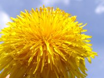 Dandelion flower background Royalty Free Stock Photo