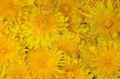 Dandelion flower background Royalty Free Stock Photos