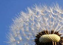 Dandelion flower background. Dandelion flower with blue sky Royalty Free Stock Photo