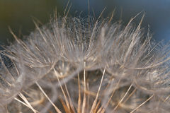 Dandelion flower background. Abstract dandelion flower background, extreme closeup. Big dandelion on natural background. Art photography stock photography