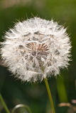 Dandelion flower background. Abstract dandelion flower background, extreme closeup. Big dandelion on natural background. Art photography royalty free stock images