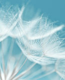 Dandelion flower background Stock Image