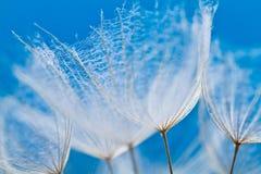 Dandelion flower background. Abstract dandelion flower background, extreme closeup. Big dandelion on natural background. Art photography Stock Image