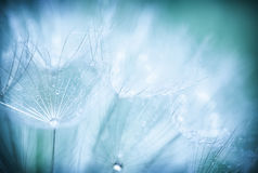 Dandelion flower background Royalty Free Stock Photography
