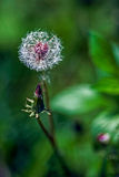 Dandelion flower on a background of nature. Dandelion flower isolated on a blurred green background of nature royalty free stock photo