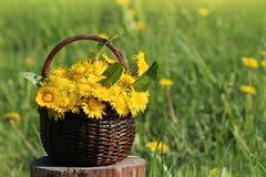 Dandelion flower in basket Stock Photography