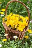 Dandelion Flower in Basket on Meadow Royalty Free Stock Photography