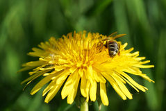 Dandelion flower with bee in the garden. Royalty Free Stock Image