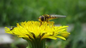 Dandelion flower bee yellow summer pollination royalty free stock image