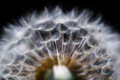 Dandelion flower on black Royalty Free Stock Images