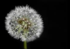 Dandelion flower on black background Stock Photography