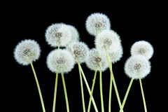 Dandelion flower on black color background isolated, group objects on blank space backdrop, nature and spring season concept. royalty free stock photography
