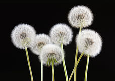 Dandelion flower on black color background, many closeup object Stock Images
