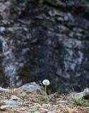 Dandelion flower on black stone background Stock Photo