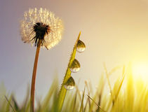 Dandelion flower and blades of grass with dew drops at sunrise. Stock Images