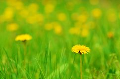 Dandelion flower bloom on the field Royalty Free Stock Photography