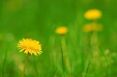 Dandelion flower bloom on the field Stock Images