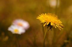 Dandelion flower bloom in the field Royalty Free Stock Image