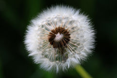Dandelion flower. Flower blooming dandelions, which has a wind-blown seeds Stock Photos