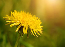 Dandelion flower blooming on sunset meadow Stock Photos
