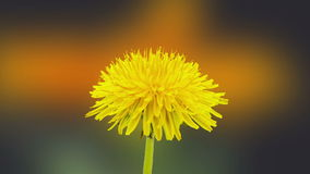 Dandelion flower blossoming composition. Timelapse video of a yellow dandelion flower blossoming with a gerbera flower blossoming int he background stock video