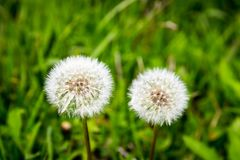 Dandelion flower. Blowball on green grass background. Spring bloom. Park plant. Countryside nature. Springtime photo retro. Postcard royalty free stock photos