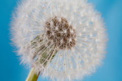 Dandelion flower, blowball macro view Stock Photography